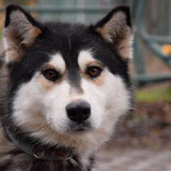 bélyegkép Majka örökbefogadható kutyáról